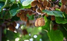 Ķīnas ērkšķogas jeb kivi – kā aug pūkainie augļi