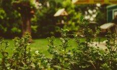 Plānojam apstādījumus! Augi, kas ar savu smaržu atbaidīs kukaiņus un kaitēkļus