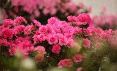 Botāniskajā dārzā pilnos ziedos saplaukusi acāliju kolekcija