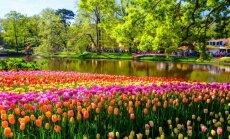 Ieplāno šopavasar braucienu uz pasaules krāšņāko dārzu Nīderlandē un 70. ziedu parādi