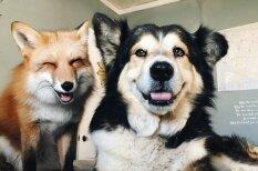 Счастливы вместе: 12 фото, которые доказывают — лиса может быть лучшим другом пса