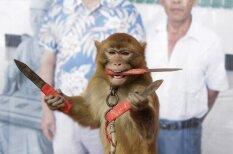 Pērtiķu dresūras aizkulises Ķīnas provincē