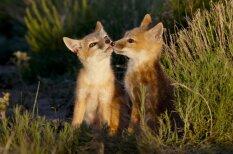 Lāči, lapsas, kamieļi un pat ķenguri – kā bučojas dažādi dzīvnieki