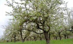 Ābeļu dārzos tuvākajās dienās ir paaugstināts ābeļu kraupja izplatības risks