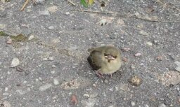 Garāmgājēji uz zemes atrod putnēnu; eksperte brīdina tos neaiztikt