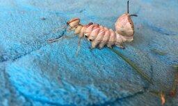 Foto: Zinātnieks palīdz atklāt 'kukaiņa – mutanta' mīklu