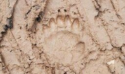 Foto: Pie Salacas viesojies lācis