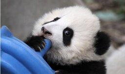 ВИДЕО: Самые нелепые падения панд собрали в одном ролике
