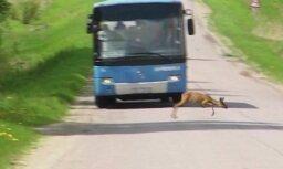 'Zebra': Kā autovadītājam rīkoties, ja uz ceļa izskrien meža zvērs