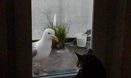 ЗАБАВНОЕ ВИДЕО: Наглая чайка пытается проникнуть в квартиру на Югле