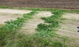 В Латгалии полиция ликвидировала три плантации марихуаны