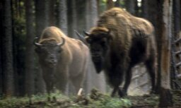 В Германии убили появившегося впервые за 250 лет дикого зубра