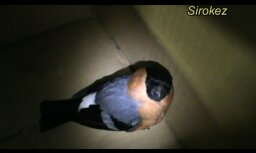 Izglābj nosalušu putnu