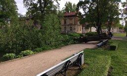 Aculiecinieka foto: Cēsu Maija parkā stiprajā vējā nolūzusi veca liepa