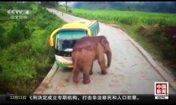 Video: Ķīnā dusmīgs zilonis uzbrūk automašīnām