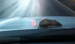 Pārsteigta pele veic vairākus kilometrus garu ceļu ar auto (video)