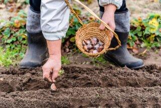 Veselības draugi: kā stādīt un audzēt vasaras ķiplokus
