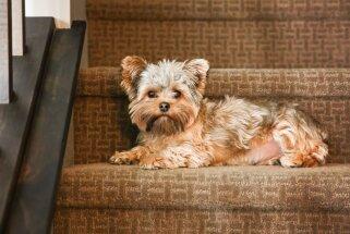 Kādiem suņiem nevajadzētu staigāt pa kāpnēm