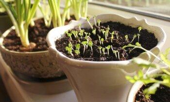 Ko audzēt zaļumu dārziņā uz virtuves palodzes?