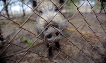 Свинское поведение лесных оккупантов. Биолог Янис Озолиньш о том, как лес приходит в Ригу