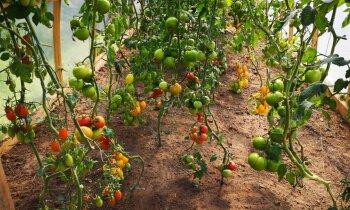 Идеальные огурцы и помидоры: как вырастить супер-урожай?
