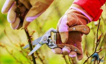 Pavasara darbi rožu dobē: atsegšana, apgriešana, mēslošana un stādīšana