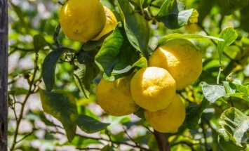 Deviņi augļi, kurus var izaudzēt no sēklām vai kauliņa
