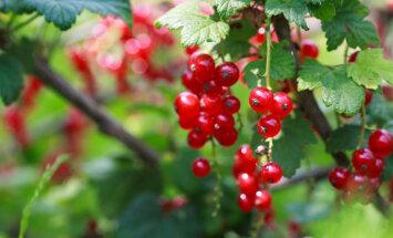 Eksperti: sausuma dēļ augļu dārzos visvairāk apdraudēti ogulāji