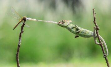 Iespaidīgs tuvplāns: hameleons ar lipīgu mēli noķer un apēd spāri