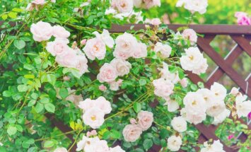 Greznums dārzā: skaistas idejas apzaļumotām arkām un pergolām