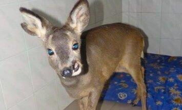 Anonīma veterinārārste adoptē Saldus dzīvnieku patversmē nogādāto stirniņu