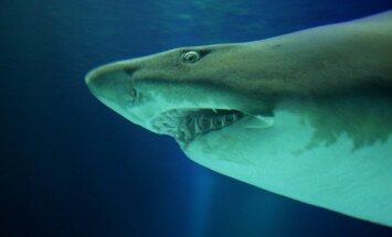 Haizivs ASV sakodusi divus pusaudžus