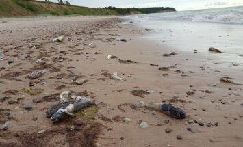 Foto: Labraga pludmalē izskalots tūkstošiem beigtu zivju