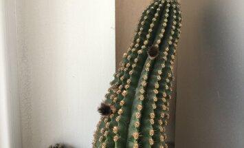 Lasītājs jautā: kāpēc kaktusam izauguši pūkaini izaugumi