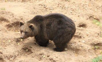Lēmumu par Līgatnes lāču pārvietošanu varētu pieņemt divu dienu laikā