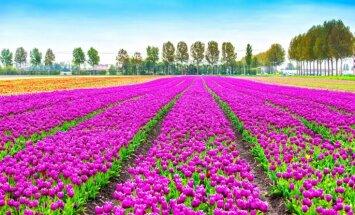 Foto: Apbrīnojamā tulpju ziedēšana Holandē