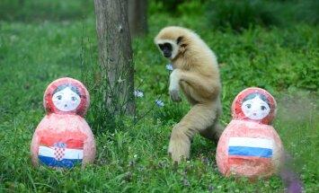 Dalās dzīvnieku-pareģu domas par PK ceturtdaļfināla spēli starp Krieviju un Horvātiju