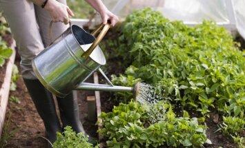 Dārza un mauriņa laistīšana vasarā jeb Par augiem jārūpējas arī vēsajās dienās