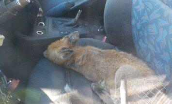 ФОТО: И снова про животных в городе. В Зиепниеккалнсе в машину залезла лиса