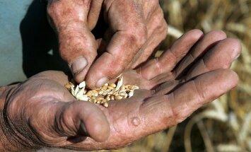 Ziemāju sējumus apdraud gaidāmais kailsals, uztraukti ir lauksaimnieki