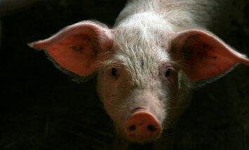 Asociācija: augstās graudu cenas liks Latvijas cūkkopjiem krietni samazināt ganāmpulkus