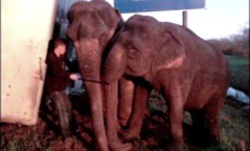 Video: Divi ziloņi ASV izglābj kravas automašīnu no apgāšanās