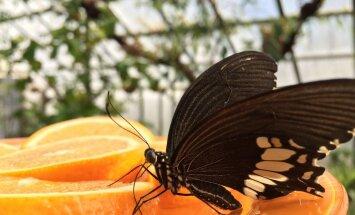 Botāniskajā dārzā šopavasar skatāmi vēl neredzēti un eksotiski tauriņi