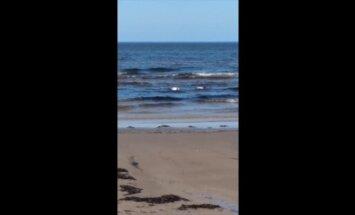 ВИДЕО: В Юрмале замечена редкая порода птиц - пеганка