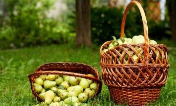 Ābolu un bumbieru novākšana: ieteikumi gatavības noteikšanai un ražas lasīšanai
