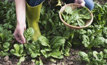 Kā sēnes pēc lietus: spinātu audzēšana mazdārziņā