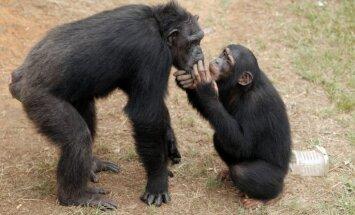 ASV tiesa lemj, vai šimpanzes atzīstamas par 'personām'