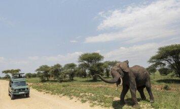 Dienas ceļojumu foto: Kā Āfrikas zilonis reaģē uz fotografēšanu