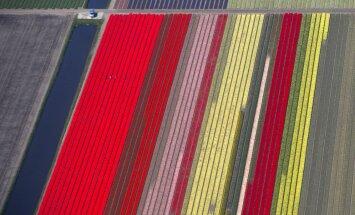 Krievija apsver iespēju aizliegt ziedu importu no Nīderlandes