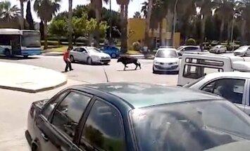 Video: Malagā drosminieks 'plikām rokām' savalda saniknotu bulli